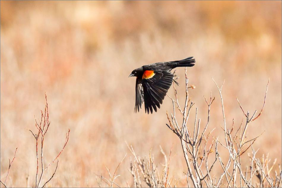 A red-winged blackbird flies among brambles in a marsh west of Bragg Creek in Alberta, Canada.