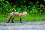 Red fox roadside in Mont-Tremblant NP – © ChristopherMartin-0604-2