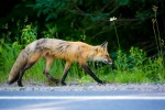 Red fox roadside in Mont-Tremblant NP – © ChristopherMartin-0624
