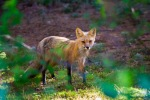 Red fox roadside in Mont-Tremblant NP – © ChristopherMartin-0637-2